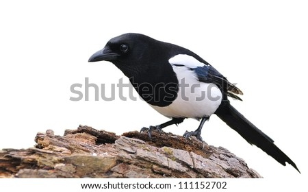 A Isolated magpie on a white background.