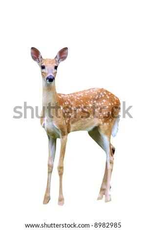 A isolated picture of a fawn deer taken at a forest in indiana - stock photo