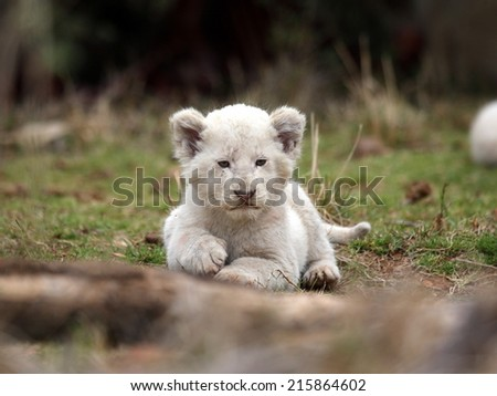 A isolated young white lion cub in this cute portrait image. - stock photo