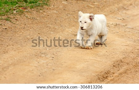 A isolated young white lion cub in this image.South Africa - stock photo
