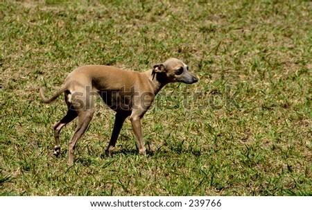 A Italian greyhound at a dog agility trial - stock photo