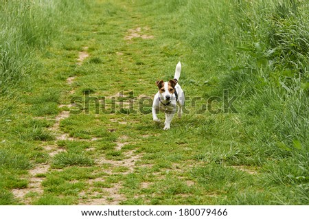 A Jack Russell in a field in the summer