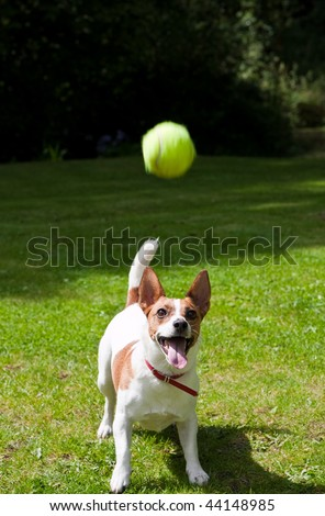 A Jack Russell terrier watches her tennis ball fly through the air and prepares to jump to catch it. Photo taken in bright afternoon sunlight on a tidy grass lawn.
