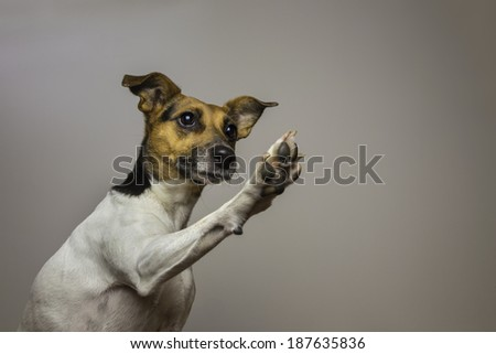 A Jack Russell Terrier with an inquisitive expression, giving a high-five. His paw raised in the air. The focus is on the dogs's face.  - stock photo