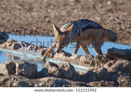 A jackal splashes as it leaves a waterhole - stock photo