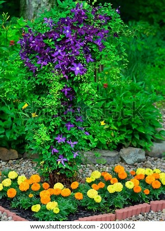 A Jackmanii purple clematis and brightly- colored marigolds in a woodland rock garden. - stock photo