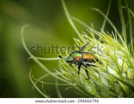 a japanese beetle is crawling out of a wild carrot flower shot on a blurred natural green foliage background - stock photo