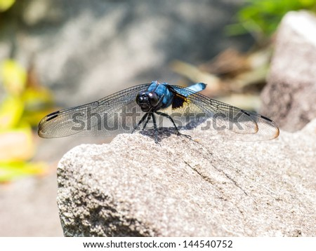 A japanese blue dragonfly