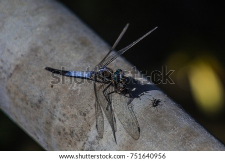 A Japanese blue dragonfly rests on a pipe in Kamakura, Japan