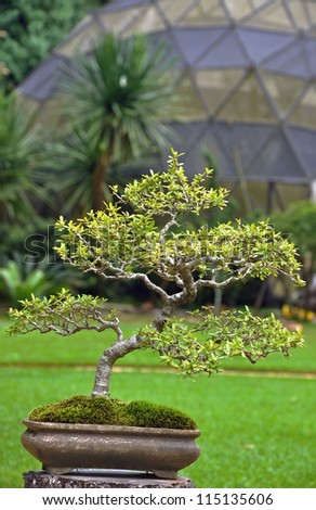 a japanese green bonsai with dome plant background - stock photo