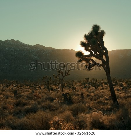 A joshua tree in Joshua Tree National Park against a setting sun, turquoise sky and mountains. - stock photo
