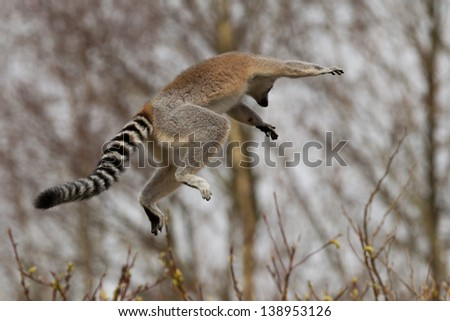 A jumping Ring-tailed lemurs (Lemur catta) - stock photo