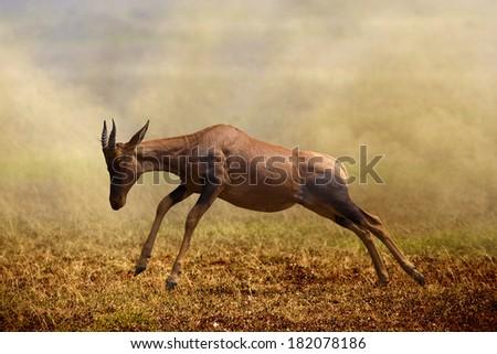 A jumping Topi antelope, Masai Mara  - stock photo