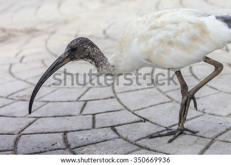 A juvenile Australian White Ibis scavenging for food