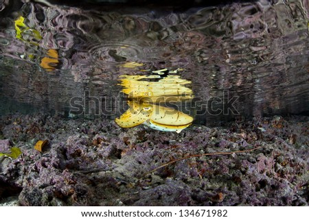 A juvenile Broadclub cuttlefish (Sepia latimanus) uses colored cells to camouflage itself in the shallows of Palau's inner lagoon.  Cuttlefish are masters of disguise. - stock photo