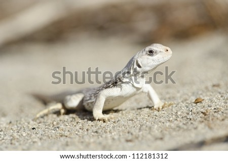 A juvenile desert iguana in the Coachella Valley of Southern California.