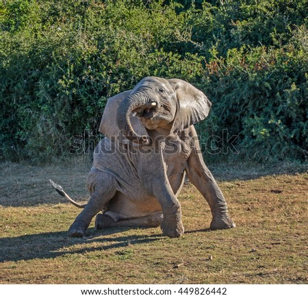 A juvenile Elephant gets down on the ground for a roll in Southern Africa - stock photo