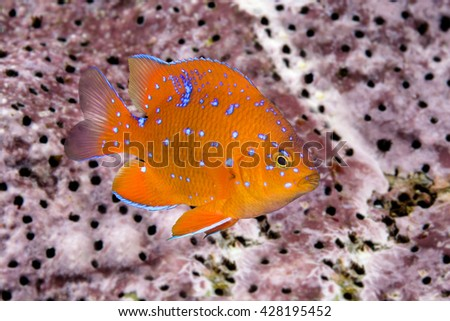 A juvenile garibaldi, the state fish of California, is characterized by its iridescent blue spots, which disappear as the animal matures into an adult. - stock photo