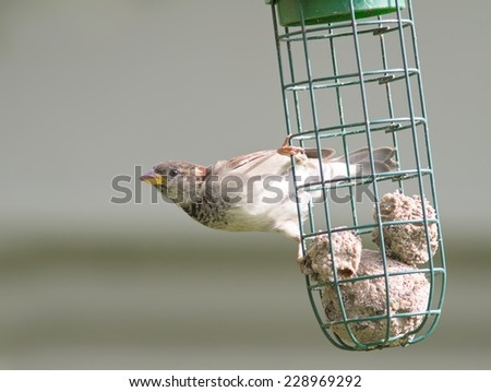 A juvenile House Sparrow on a bird feeder. - stock photo