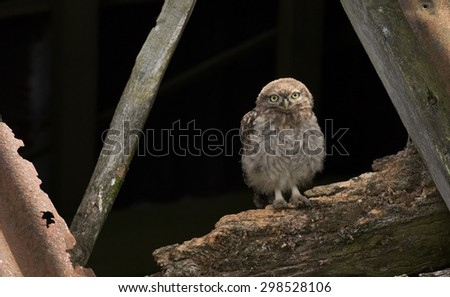 A juvenile Little owl sitting in a derelict barn. - stock photo