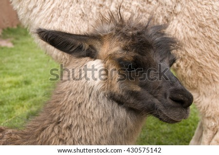 A juvenile llama in Peru is just beginning to sprout the long hair that typifies its species. - stock photo