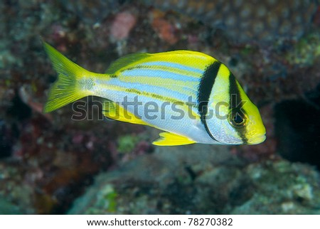 A Juvenile Pork fish swimming over a coral reef. - stock photo