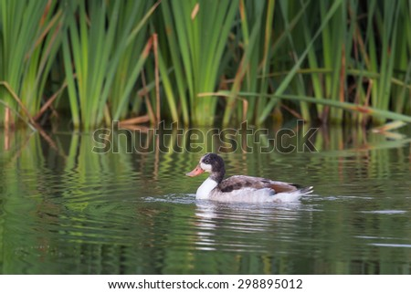 A juvenile Shelduck (Tadorna tadorna) swimming in water against a blurred natural background of bulrush leaves, UK - stock photo