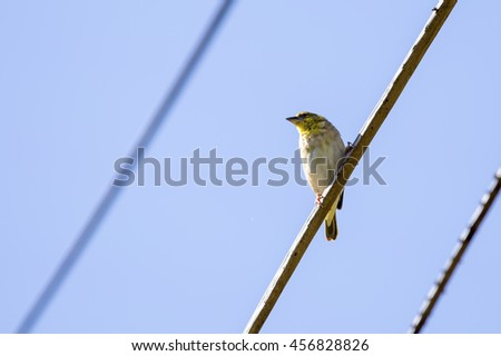 A juvenile village weaver (Ploceus cucullatus) bird, in moult, sitting high up on a telephone cable, photographed on a sunny June day in Mauritius.  - stock photo