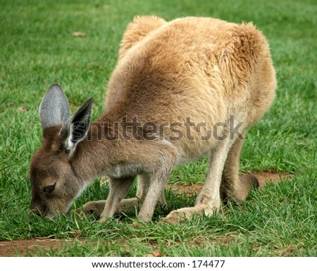 A kangaroo - stock photo
