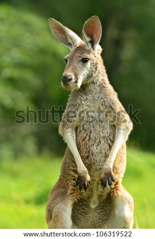 A kangaroo is in a natural habitat - stock photo