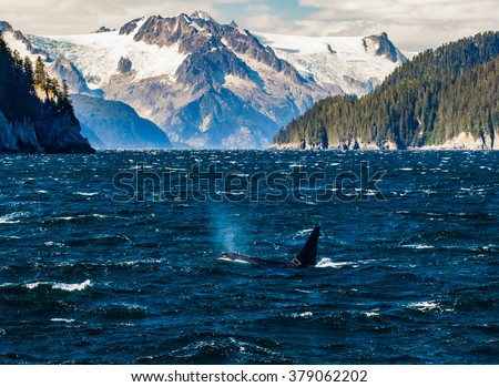 A killer whale breaches and blows a spout of fishy breath benath the high mountain glaciers of Northwestern Fjord in the Kenai Fjords National Park - stock photo