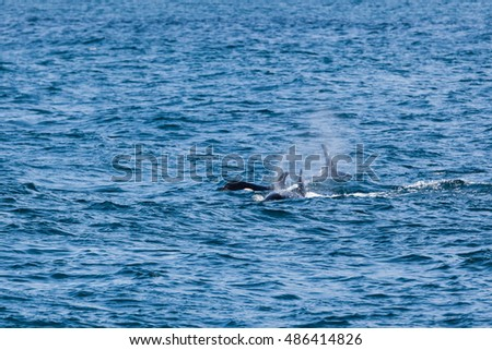 A killer whale swimming in Kenai Fjord National Park