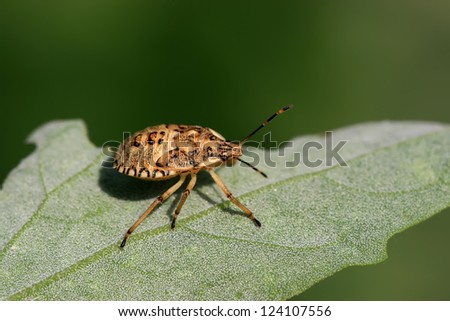 a kind of insects named stinkbug