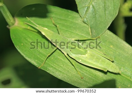 a kind of orthoptera insects