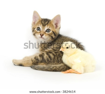 A kitten and baby chick sit next to each other on a white background. Both are being raised on a farm in Illinois - stock photo