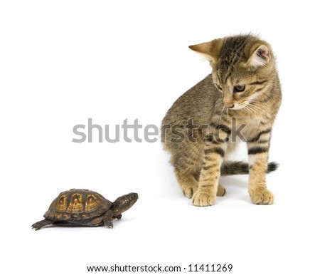 A kitten investigates a small box turtle on a white background - stock photo