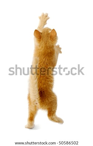 A kitten is standing on back of its legs reaching for something. Taken on a white background. - stock photo