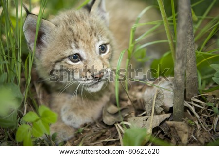 a kitten of lynx is in natural among  in the taiga  of the Seashore  region ,     Russia - stock photo