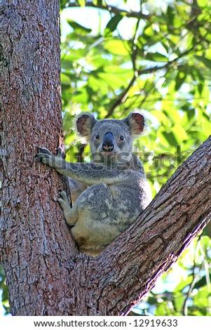 A Koala sitting in a Eucalyptus Tree in Noosa, Sunshine Coast, Queensland, Australia - stock photo
