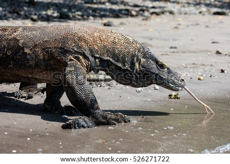 A Komodo dragon (Varanus komodoensis) prowls along a remote beach in Komodo National Park, Indonesia. These dangerous reptiles are the world's largest lizards.