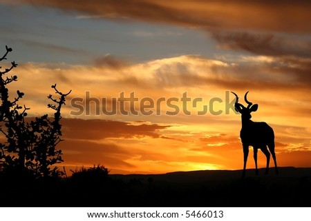 A kudu bull silhouetted against a setting sun