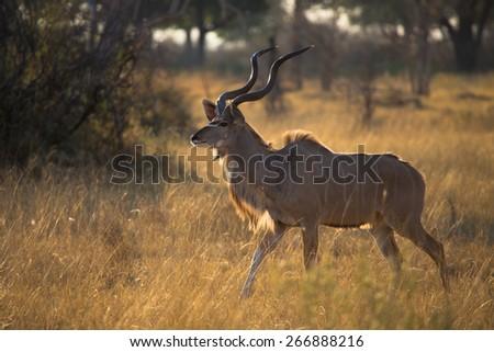 A kudu bull striding through long golden grass in the Okavango delta - stock photo