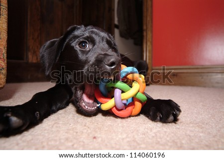 A labrador puppy playing with toy indoors, closeup