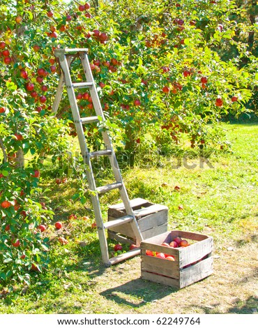 A ladder and crate of apples next to an apple tree - stock photo