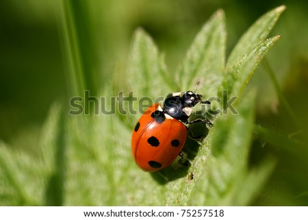 A ladybird on a fresh spring leaf