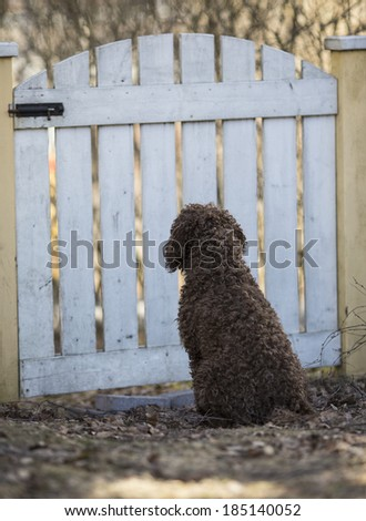 A lagotto romagnolo is watching sadly the yard behind a wooden fence. People has left him alone in the yard. - stock photo
