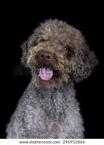 A lagotto romagnolo portrait. Image taken in a studio with a black background. The breed is also known as the truffle dog and the Italian waterdog. - stock photo