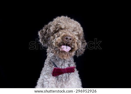 A lagotto romagnolo portrait with a bow. Image taken in a studio with a black background. The breed is also known as the truffle dog and the Italian waterdog. - stock photo