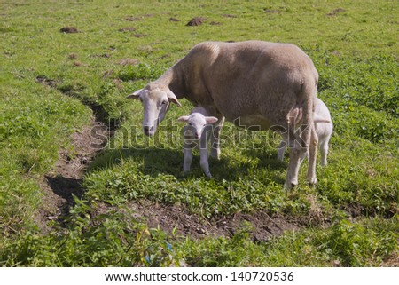 A lamb and its mum are in the picture and the lam is looking at me. - stock photo
