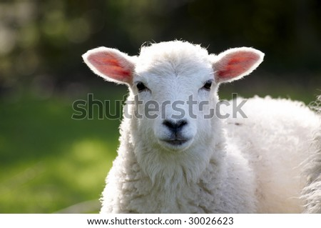 A lamb in a field in the sunshine - stock photo
